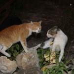 Бой котов