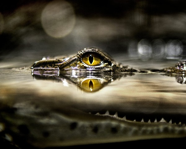 Alligator_5-Eyes